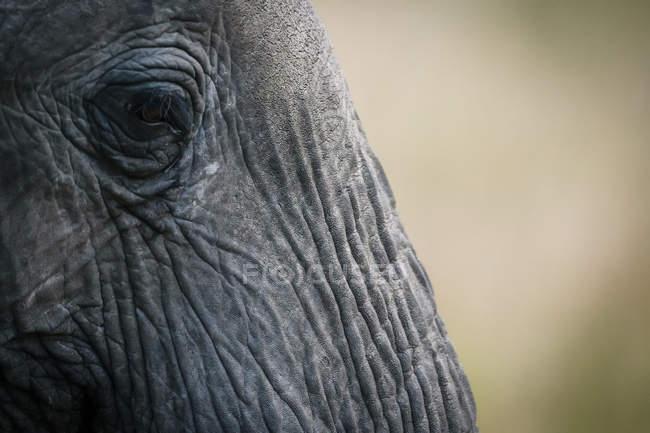 Крупный план глаз и лица африканского слона-буша, Национальный заповедник Масаи Мара, Кения — стоковое фото