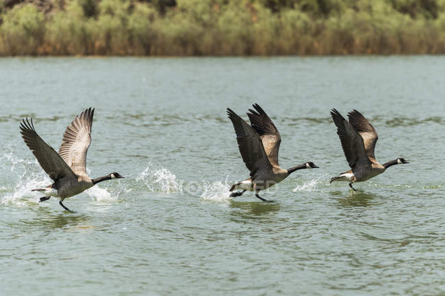 Canada geese flying above water, side view — Stock Photo