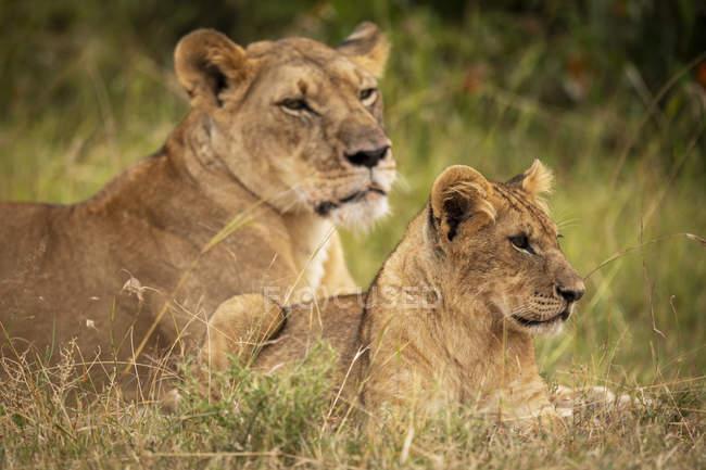 Majestuosos leones furry en hábitat natural - foto de stock