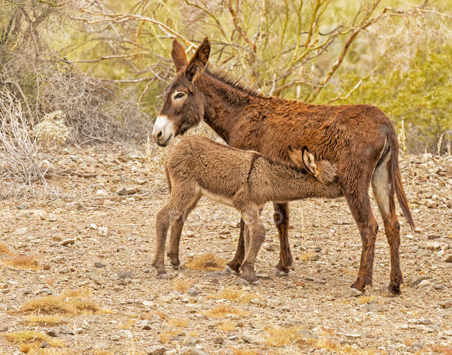 Wildburro säugt ihr Kalb in der wilden Natur — Stockfoto