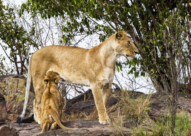 Величний пухнастий левів у природному середовищі існування — стокове фото