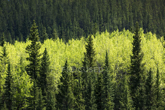 Bright green leaved trees amongst darker green evergreen trees in a forest, West of Turner Valley, Alberta, Canada — Stock Photo