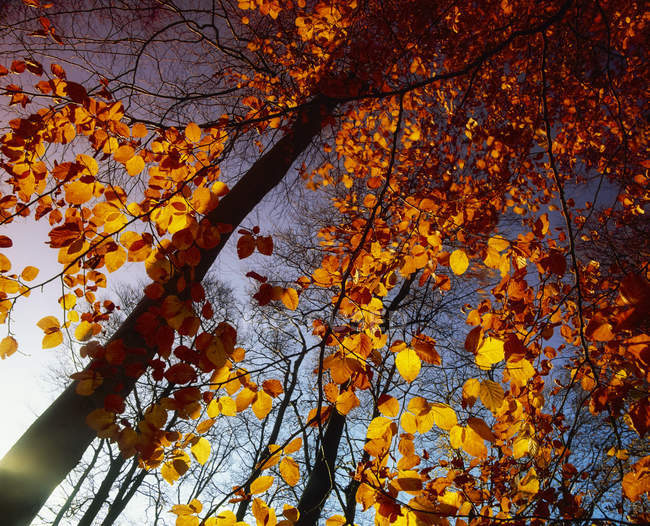 Beech Trees with orange leaves — Stock Photo