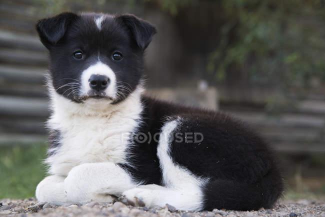Ritratto di un Husky Croce cucciolo; Old Crow, Yukon, Canada — Foto stock