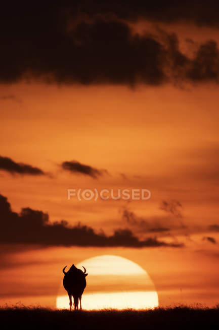 A blue wildebeest is silhouetted against the glowing orange sky on the horizon at sundown, Maasai Mara National Reserve, Kenya — Stock Photo