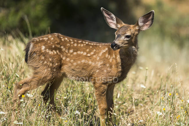 White-tailed deer fawn at wild nature in the Cascade Siskiyou National Monument, Ashland, Oregon, United States of America — Stock Photo