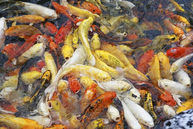 Koi fish in a pond; Thailand — Stock Photo