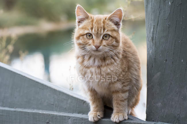 Portrait of a light coloured kitten sitting on a fence looking at the camera — Stock Photo