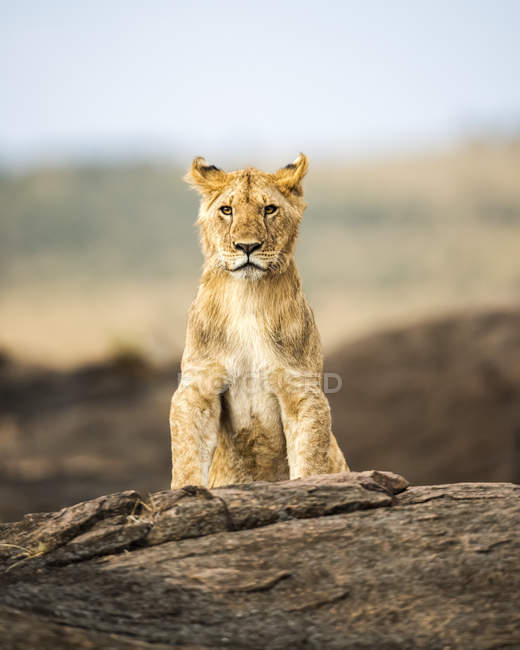 Majestueuse lion fourrure dans leur habitat naturel — Photo de stock