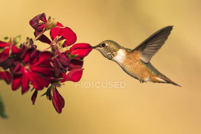 Vista close-up de beija-flor em voo ao lado da flor contra fundo borrado — Fotografia de Stock