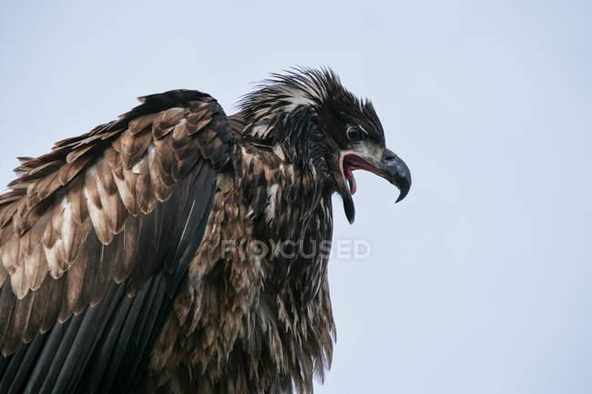 Águila calva cabeza sobre fondo azul - foto de stock