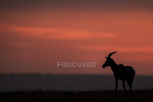 Топи (Damaliscus Лунный jimela) стоит в профиле на горизонте на закате. Это тело silhouetted против яркие розовые облака в небе, Масаи Мара Национальный заповедник; Кения — стоковое фото