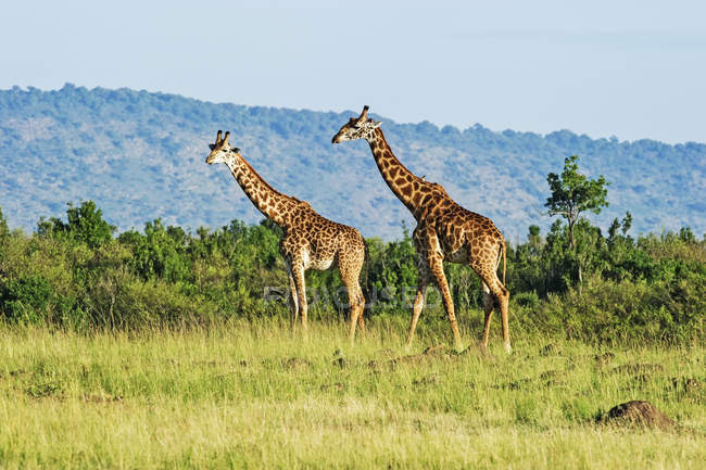 Cute tall giraffes in wild nature — Stock Photo