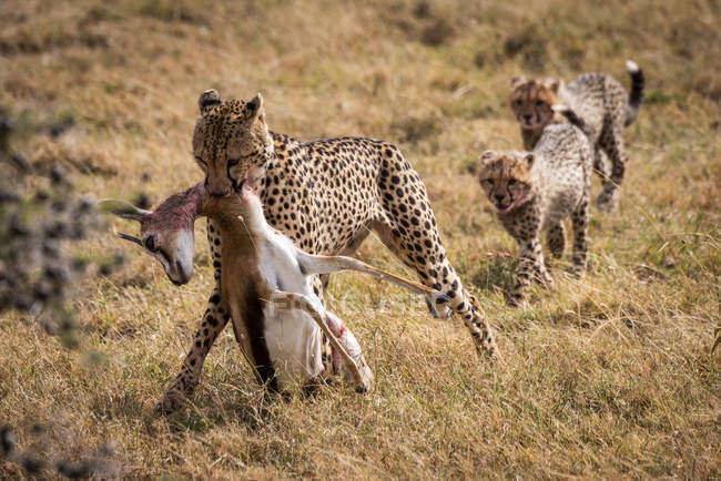 Cute mighty cheetahs in safari, Maasai Mara National Reserve, Kenya — Stock Photo