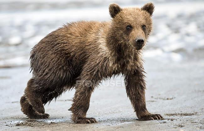 Niedlicher Kodiak-Bär in natürlichem Lebensraum — Stockfoto