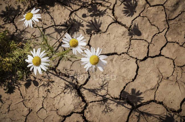Camomille inodore (Anthemis arvensis) poussant à travers des fissures dans la terre sèche ; Stony Plain, Alberta, Canada — Photo de stock