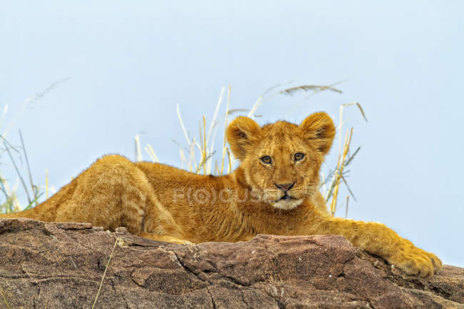 Majestic furry lion in natural habitat — Stock Photo