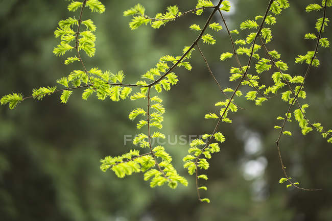 Пышные зеленые листья на ветвях дерева в весеннее время; Ванкувер, Британская Колумбия, Канада — стоковое фото