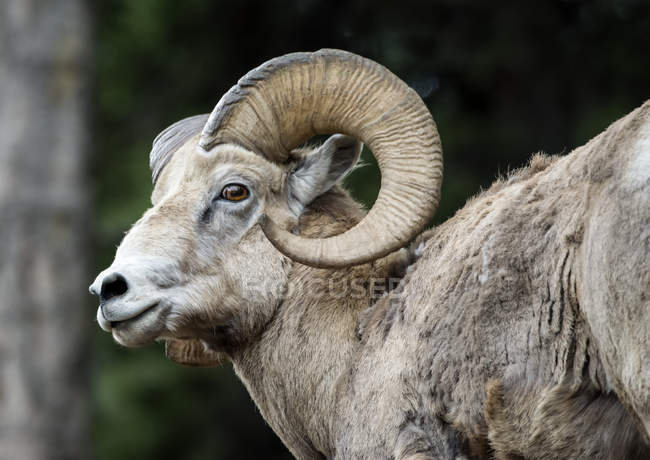 Bighorn ovini (Ovis canadensi) nelle Montagne Rocciose Canadesi, vicino a Banff; Alberta, Canada — Foto stock