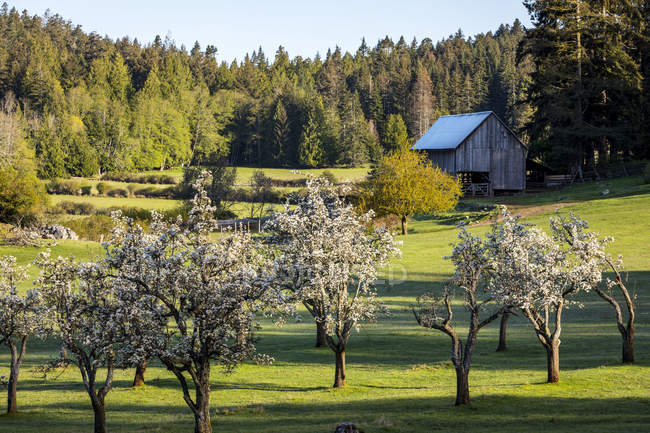 Morning light illuminates apple blossoms on the farm in Ruckle Provincial Park, Salt Spring Island, British Columbia, Canada — Stock Photo