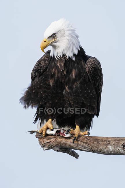 Águila calva en rama contra el cielo de fondo - foto de stock
