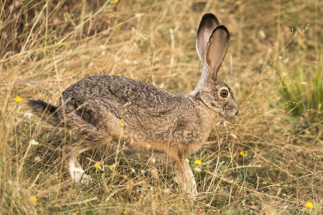 Simpatico coniglio con le orecchie lunghe in habitat naturale — Foto stock