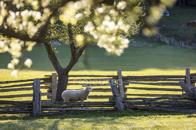 A lone sheep for pasture under apple trees on the farm, British Columbia, Canada — Stock Photo