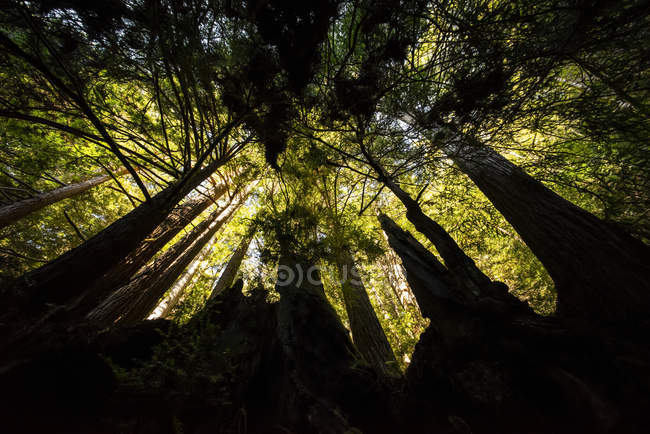 Silhouetted tree trunks topped with green foliage, California, USA — Stock Photo