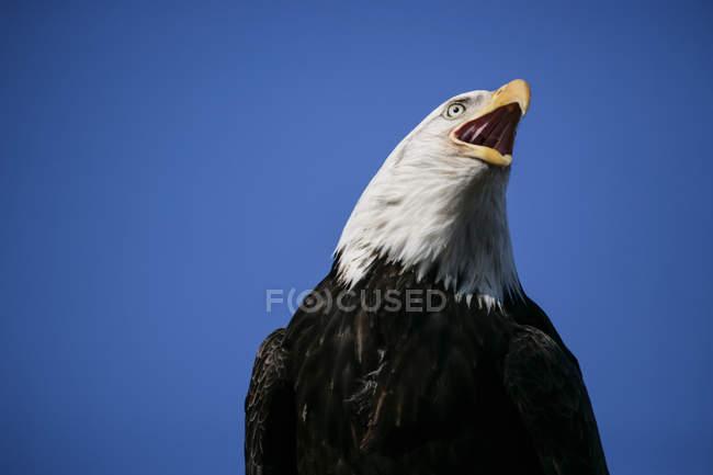 Retrato de águila calva sobre cielo azul - foto de stock