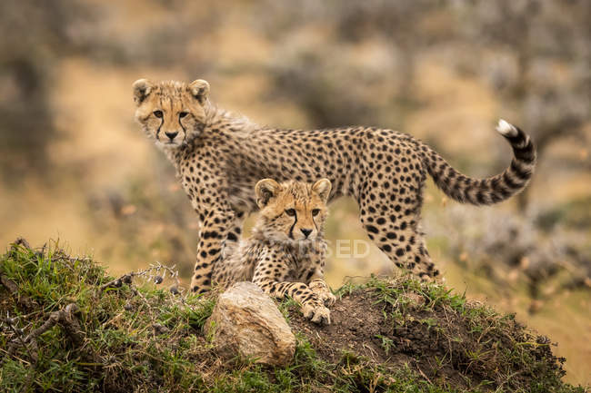 Cute and majestic cheetahs in wild nature — стокове фото