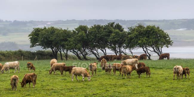 Rinder weiden auf einem Feld entlang der Küste; Enniscrone, County Sligo, Irland — Stockfoto