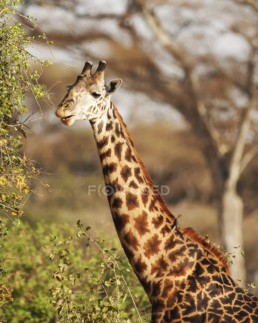 Portrait of cute giraffe eating from a tree — Stock Photo