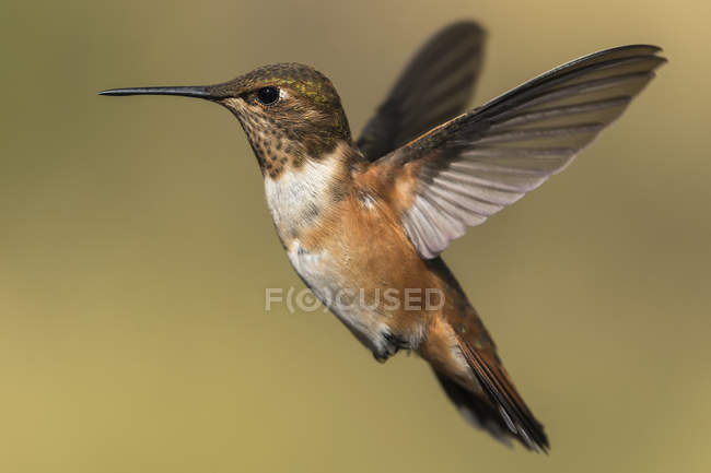 Colibrí volando contra el fondo borroso - foto de stock