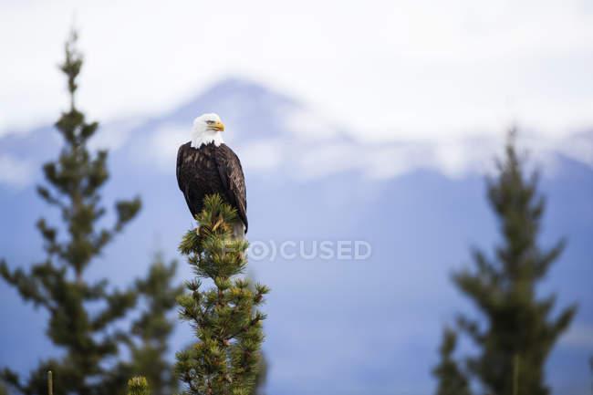 Águila calva sentada en abeto contra montañas - foto de stock