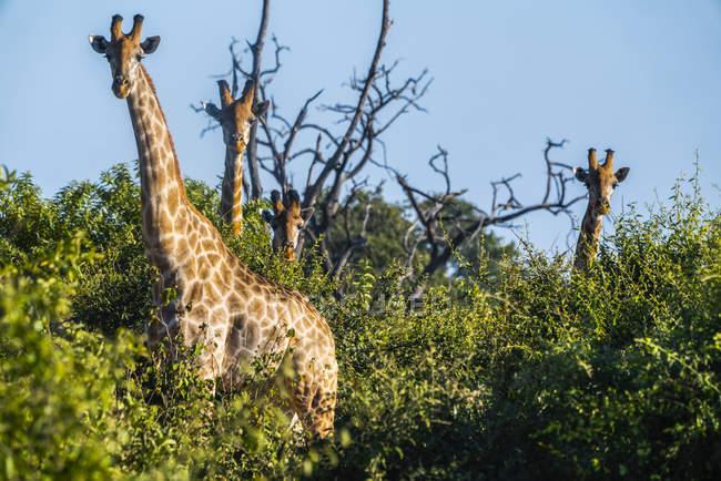 Jirafas de pie en los árboles mirando hacia la cámara - foto de stock