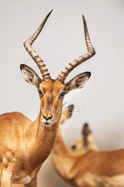 Portrait of cute impala with huge horns — Stock Photo