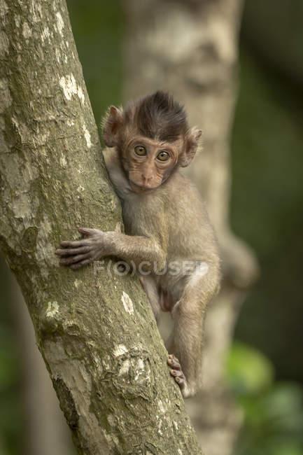 Bébé macaque à longue queue dans un arbre face à la caméra — Photo de stock