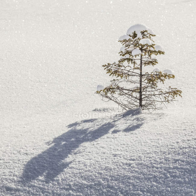 Snow-covered tree  with shadow in sparkling, clean white snow; Thunder Bay, Ontario, Canada — Stock Photo