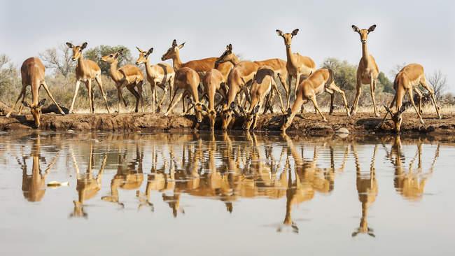 Симпатичні красиві impalias на поливу місце в дикій природі — стокове фото