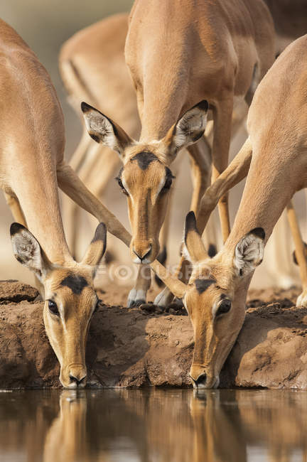 Cute beautiful impalas at watering place in wild nature — Stock Photo