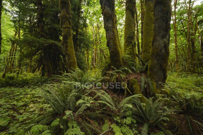 Толстый мох, свисающий с деревьев в тропическом лесу возле озера Ковичан, Британская Колумбия, Канада — стоковое фото