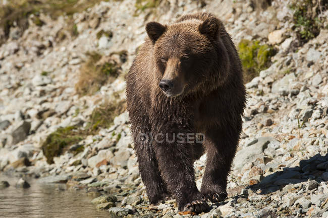 Scenic view of majestic bear at wild nature — Stock Photo
