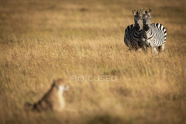 Selective focus shot of majestic cheetah at hunt and zebras in wild nature — Stock Photo