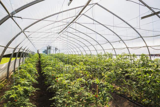 Righe di piante di pomodoro (Lycopersicon esculentum) coltivate biologicamente all'interno di una serra di film di polietilene; Quebec, Canada — Foto stock