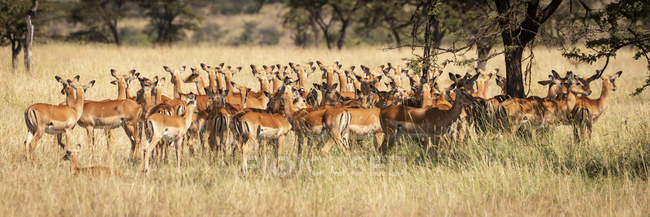 Group of beautiful impalas standing in wild nature — Stock Photo