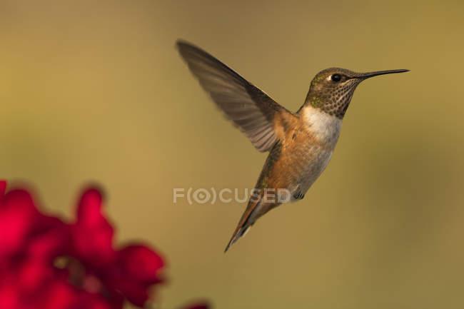 Beija-flor voando contra fundo desfocado — Fotografia de Stock