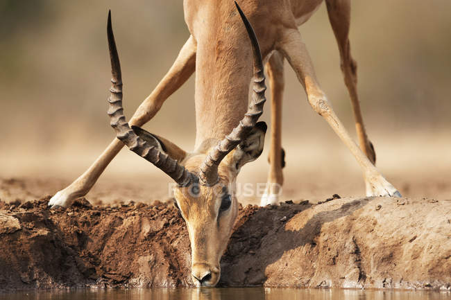 Impala drinking water from watering place — Stock Photo