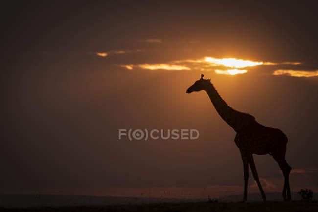 Silueta de jirafa caminando contra el horizonte al atardecer - foto de stock