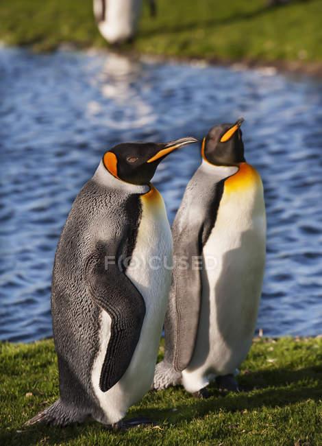 Король Пингвин стоял вместе в зоопарке — стоковое фото