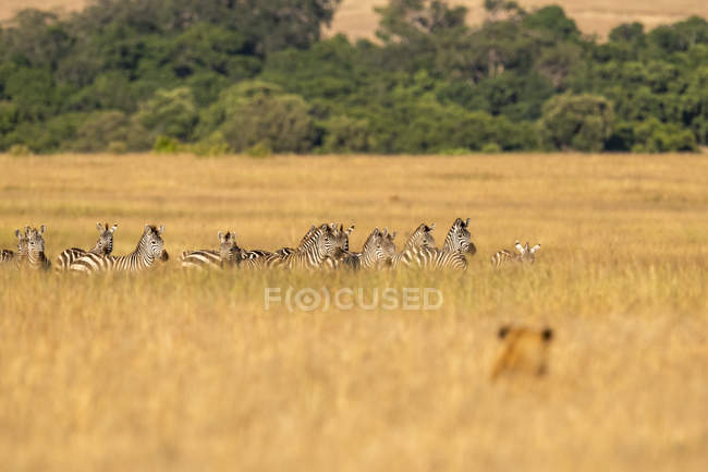 Scenic view of majestic lion hunting for zebras at wild nature — Stock Photo